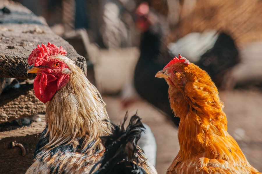 Gripa aviară, confirmată într-o gospodărie din județul Timiș
