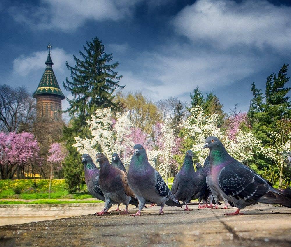 Dezbatere publică pe marginea regulamentului care interzice hrănirea porumbeilor, la Timișoara